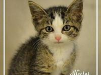 Hector's story HECTOR White and tabby mix 8 week old