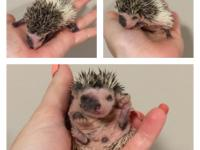 I have hedgie babies ready in about 3 weeks. The