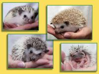 I am looking to rehome my baby hedgehogs to great