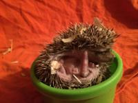 Baby Hedghogs for sale from a Licensed Breeder. Have a