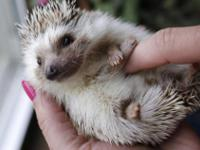 Baby hedgehogs now ready for new homes eating on their