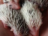 Hello, We are Hedgehog breeders in Lexington, KY a very