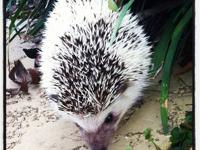 I have a female hedgehog for sale! I am a senior in