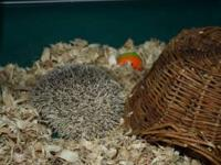 Sweet male Hedgehog that goes by Quilliam for sale to a