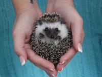 We have 6-8 week old hedgehog babies ready to go now!