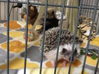 7 month old hedgehog breeding pair for sale. Female: