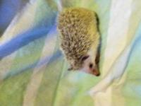1 cinnecot female (1 year old), has had 2 litters,