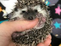 Licensed hedgehog Breeder. Visit www.secthedgehogs.com