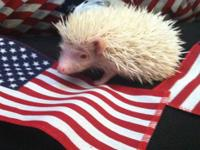 I have three young hedgehogs for sale. 1 male and 2
