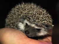 Small African Pygmy Hedgehog breeder in Englewood, TN.
