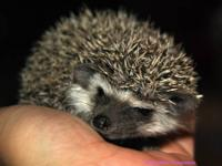 Small African Pygmy Hedgehog breeder in Englewood, TN.