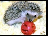 Hedgehogs will be born within the next 2 weeks. If you