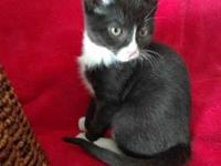 Hedrick is an adorable tuxedo 10 week old kitten. He