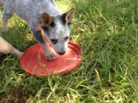Australian Cattle Dog Heeler 4 females 1 male. The hard