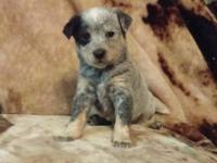 Hello! (: I have a litter of 7 heeler puppies. They are