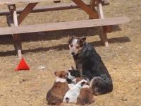 The puppies are 3/4 Heeler and 1/4 Collie, mom and dad