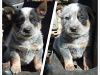 Heeler Puppies! Will be ready to go next week. CKC Reg.