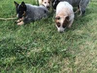 Have 6 Heeler puppy's 4 males 3 red 1 blue and 2 blue