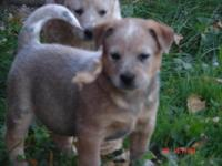 Purebred Heeler , red male born Sept 5 and will be