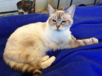 Heidi is a beautiful DMH Lynxpoint Siamese Mix Lady cat