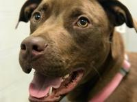 Heidi is a sweet one year old choc lab mix who was