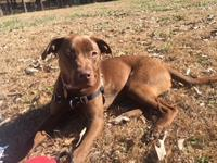 Heidi is a one year old 50 lb choc lab mix who is a fun