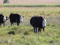 140 Bred Black/BWF Heifers. Weight around 950-1100 lbs.