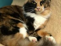 Helena is a beautiful long haired calico. She was