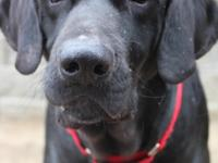 Dolly is a 5-6 year old lab mix. She is an absolute