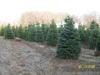 These are top quality evergreens grown on our nursery