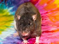 This is a Black English Berkshire top-eared rat.