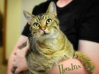 Hendrix's story Hendrix- 9 months old- tabby male. This