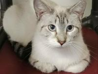 Henna is a pretty lynx point Siamese girl with a sweet
