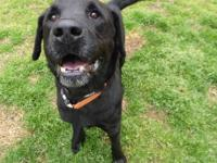 Henry is a 5-year-old neutered black male lab. He