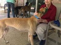 Henry is a fawn retired racing greyhound. He is an