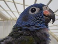 Henry is a 13 year old Blue Headed Pionus that just