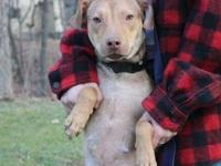 Hera is a Pit Mix and is 1-2 years old, (1-2 years).