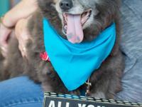 Born in approximately Sept. 2007, Herbie is a male Chow