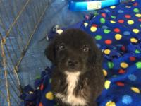 Herby is a 7 week old male Lab/Springer Spaniel Mix