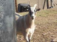 I have 3 pygmy goat wethers for sale. Great for