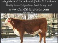 Registered Yearling Hereford Bulls! Our Bulls: *Out of