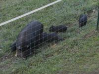 Registered Breeding Sow for sale $300 also have a