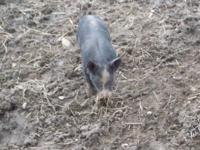 Berkshire bred gilts will be available for sale this