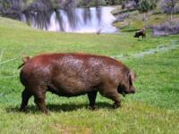 HERITAGE PIGS: Berkshires, Large-Blacks, Tamworths,