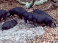 These pigs are a cross between two rare heritage pork