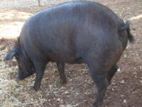 We have a beautiful Red Wattle pig ready to breed with