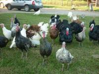 4 months old heritage turkeys hybrid/mix $15.00 each