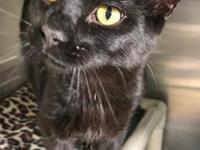 Meet Herman! He is a 9 mo black DSH. He has an