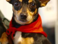 NAME: Hermes BREED: Chihuahua  Mix AGE: 4 years old
