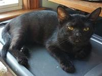 Hermia's story Meet Hermia... a solid black shorthair